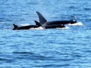 seattle orca whale watching tours